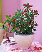 Euphorbia milii (Christusdorn)