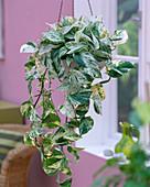 Epipremnum 'Marble Queen' (green and white ivy)