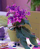 Streptocarpus 'Domino' (turnip fruit)