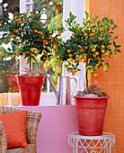 Citrofortunella (Calamondin orange)