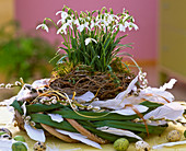 Galanthus (snowdrop) in nest of branches