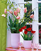 Tulipa (salmon pink and red tulip)