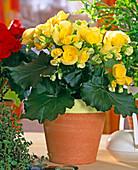 Begonia Elatior hybrid
