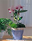 Cattleya hybrids