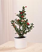 Euphorbia millii (Christusdorn)