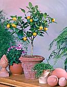 Citrus X mitis