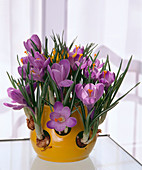 Crocus vernus in the crocus pot