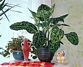 Dieffenbachia hybrids