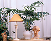 Howea forsteriana, Kentia palm