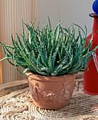 Haworthia hybrids