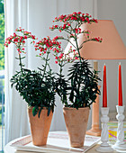 Kalanchoe 'African'