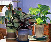 Calathea Orbifolia, Picturata and C. 'Exotica' (Basket Martens)