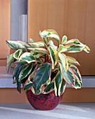 Peperomia clusifolia