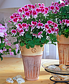 PELARGONIUM - HYBR. TIP Top - Serie