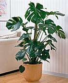 Monstera deliciosa (window leaf)