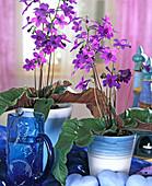 Streptocarpus hybrids 'Domino'