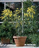 Acacia fimbriata (mimosa)
