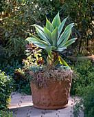 Agave attenuata, Aeonium hybrids