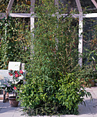 East Asian conservatory, Phyllostachys