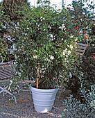 Jasminum officinalis (jasmine)