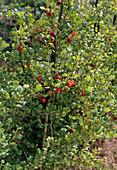 Gooseberry red 'Maiherzog'