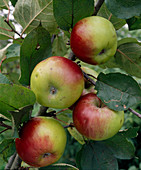 Apple 'Brettacher'