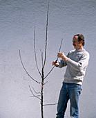 Plant apple tree