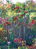 Malus 'Rewena' (apple) tree, resistant variety from Pillnitz