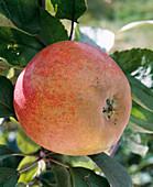 'Boskop' apple