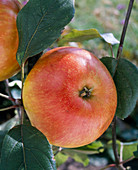 Apple 'Red James Grieve'