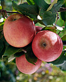 Apple 'Berlepsch'
