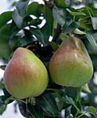 Pear 'Alexander Lukas'