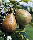 Madame Verte' pear
