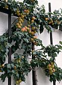 Apricots on the trellis