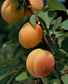 Apricot from Nancy