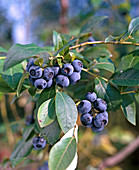 Cultivated blueberry 'Goldtraube'