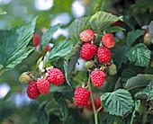 Raspberry 'Glen Clova'