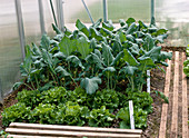 Turnip cabbage and Iceberg lettuce in the small greenhouse