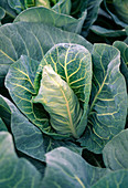 Pointed cabbage 'Duchy'