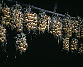 Onions hung up for drying