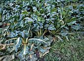 Brassica chinensis 'Pak Choi' (Chinesischer Senfkohl)