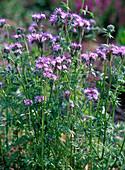 Phacelia (bee pasture), green manure
