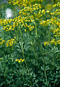 Flowering rue, is used as a fragrance and spice plant