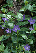 Vinca Major big evergreen