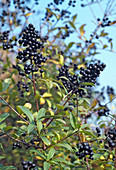 Ligustrum vulgaris (Privet)