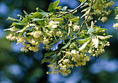Tilia platyphyllos (summer linden) with flowers