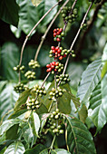 Coffea (coffee) with fruits of different maturity