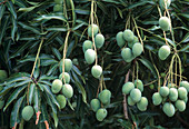Mango tree, tropical fruit tree with unripe, green fruits