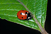 Seven-point ladybug or seven-point
