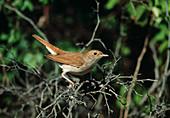 Nightingale (European nightingale) on twigs